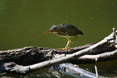 Green Heron fishing. — Stock Photo