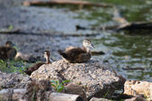 Wood Duck (Aix sponsa) duckling sitting on a Rock. — Stock Photo