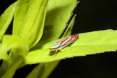 Redbanded Leafhopper — Stock Photo