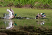 Deux canards colverts en vol — Photo