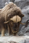 Musk Oxen — Stock Photo