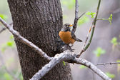 American Robin — Stock Photo
