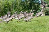Group of goslings running — Stock Photo