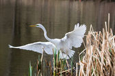 Great Egret Taking Off — Stock Photo
