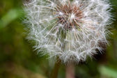 Dandelion gone to Seed — Stock Photo