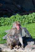 Makaak monkey Baden — Stockfoto