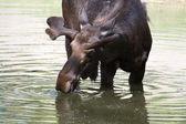 быка лося, пить из пруда. — Стоковое фото
