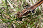 Dragonfly in the Grass — Stock Photo