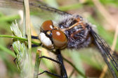 Common Darter Looking up — Stock Photo