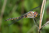 Common Darter Dragonfly standing on a Branch — Stock Photo