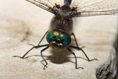 Colorful Dragonfly — Stock Photo