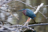 Green Heron — Stock Photo