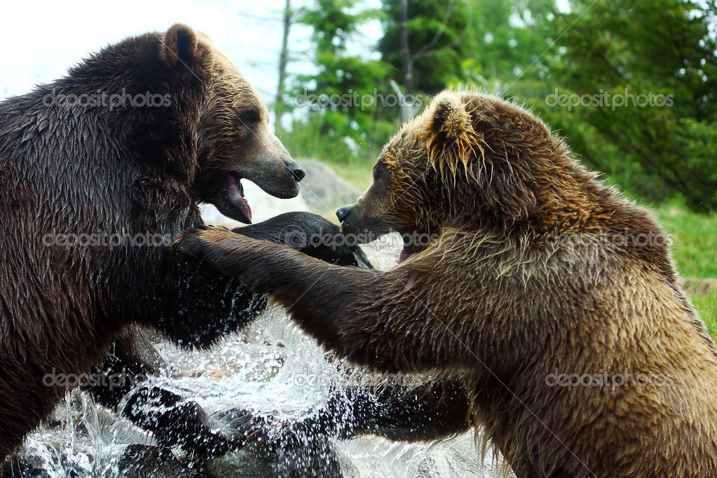 Two Grizzly (Brown) Bears square off to fight. — Stock Photo #5442764