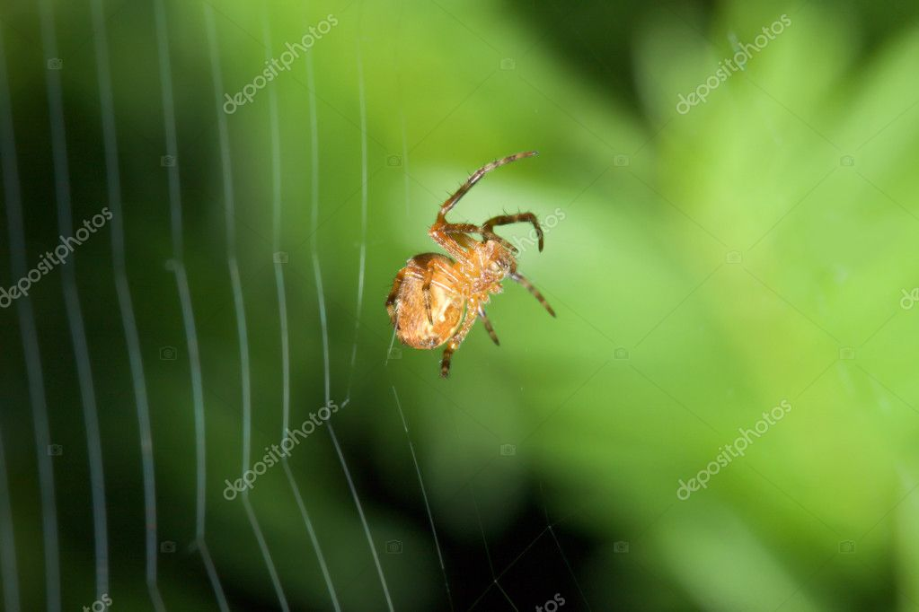 Female Cobweb Spider working on her web. — Stock Photo #5443617