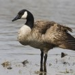 Canadian Goose — Stock Photo #5464757