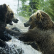 Grizzly (Brown) Bear Fight - Stock Photo