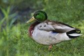 Duck Mallard — Stock Photo