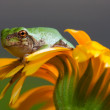 Gray Tree Frog — Stock Photo