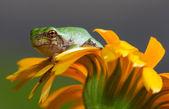 Gray Tree Frog — Stock Photo
