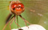 Close-up of a red dragonfly — Stock Photo