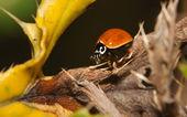 Besouro asiático de joaninha (Harmonia axyridis) — Fotografia Stock