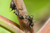 Two black Ants — Stock Photo