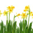 Yellow daffodils — Stock Photo