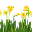 Yellow daffodils — Stock Photo #5451701