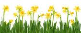 Narcisos amarelos — Foto Stock