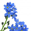 Forget-me-not — Stock Photo #5524749