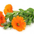 Calendula officinalis — Stock Photo
