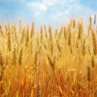 Wheat field — Stock Photo #5958591