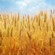 Foto de Stock  : Wheat field