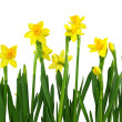 Yellow daffodils — Stock Photo #6032677