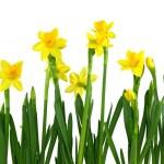Yellow daffodils — Stock Photo