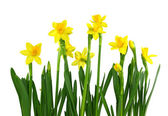 Yellow daffodils — Foto Stock