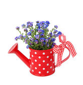 Forget-me-not flowers in red watering-can — Stock Photo