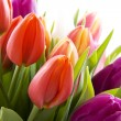 Dutch tulips - Stock Photo