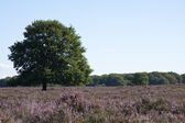 Field on the veluwe — Stock Photo