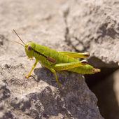 Grasshopper — Foto de Stock