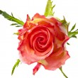 Single rose — Stock Photo #5586827