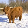 Scottish highlander - Stock Photo
