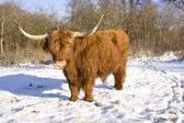Schottischer highlander — Stockfoto