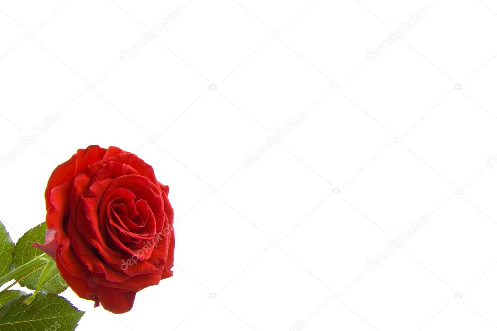 Red rose in the corner and space for text — Stock Photo #6097309