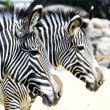 Two zebra's — Stock Photo