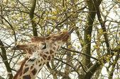 长颈鹿吃 — 图库照片