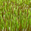 Background of the young green grass of wheat — Stock Photo