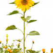 Sunflower grew among the flowers of marigolds — Stock Photo