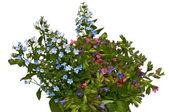 Jarní květy - pomněnka a plicník lékařský — Stock fotografie