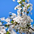 Flowering fruit tree — Stock Photo